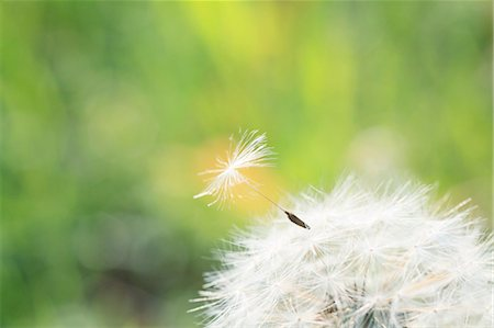 Dandelion seeds Stock Photo - Premium Royalty-Free, Code: 622-07108839