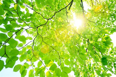 Sun filtering through green leaves Foto de stock - Royalty Free Premium, Número: 622-07108854