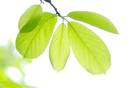 Green leaves Stock Photo - Premium Royalty-Free, Code: 622-07108863