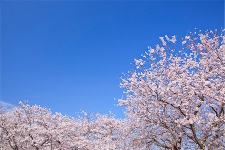 Cherry blossoms and sky Stock Photo - Premium Royalty-Free, Code: 622-07108894