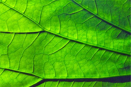 Green leaf Stock Photo - Premium Royalty-Free, Code: 622-07108949