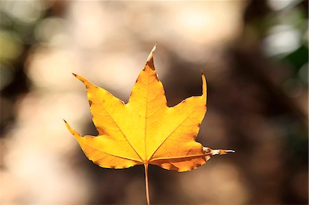 dry - Autumn leaf Stock Photo - Premium Royalty-Free, Code: 622-07117668