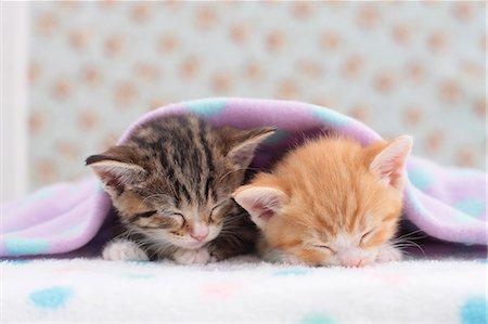 Munchkin pets Stock Photo - Premium Royalty-Free, Code: 622-07117864