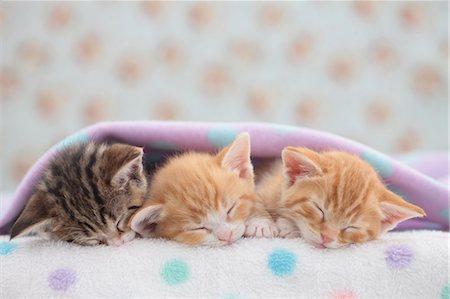 Munchkin pets Stock Photo - Premium Royalty-Free, Code: 622-07117867