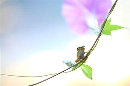 Frog on morning glory Stock Photo - Premium Royalty-Free, Code: 622-07117905