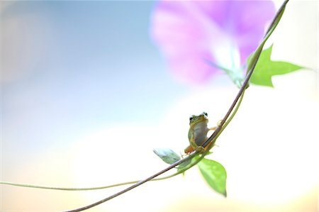 Frog on morning glory Stock Photo - Premium Royalty-Free, Code: 622-07117905