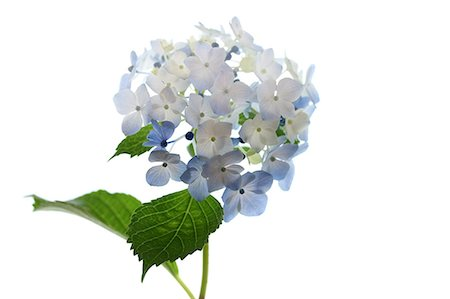 Hydrangea Stock Photo - Premium Royalty-Free, Code: 622-07117914
