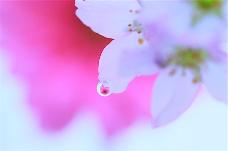 stamen - Water droplets on cherry blossoms Stock Photo - Premium Royalty-Free, Code: 622-07117934
