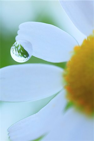 droplet - Water droplet on lawn daisy Stock Photo - Premium Royalty-Free, Code: 622-07117951