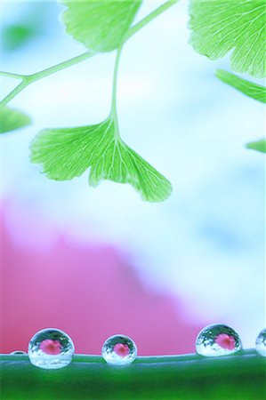 represented - Water droplets on pea Stock Photo - Premium Royalty-Free, Code: 622-07117969