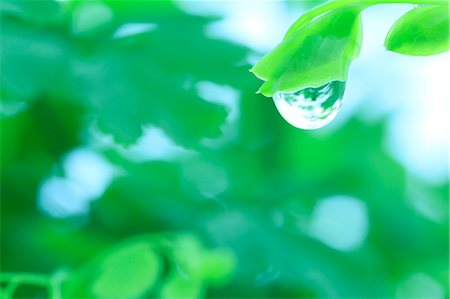 droplet - Water droplet on leaf Stock Photo - Premium Royalty-Free, Code: 622-07117960