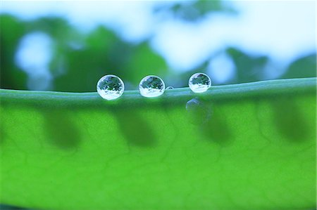 represented - Water droplets on pea Stock Photo - Premium Royalty-Free, Code: 622-07117970
