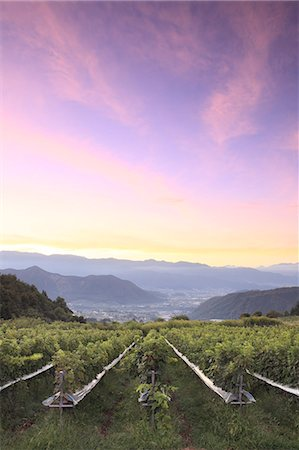 Sunrise sky over vineyard, Yamanashi Prefecture Stock Photo - Premium Royalty-Free, Code: 622-07117985