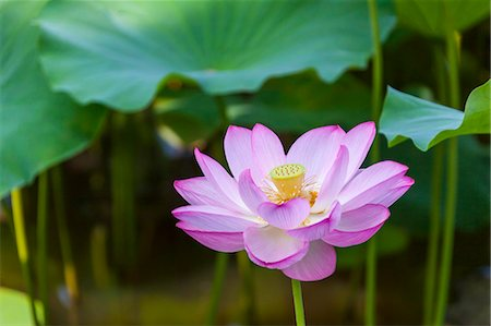 Lotus Stock Photo - Premium Royalty-Free, Code: 622-07118034
