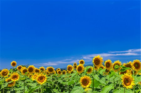 Sunflower field and sky Stock Photo - Premium Royalty-Free, Code: 622-07118049
