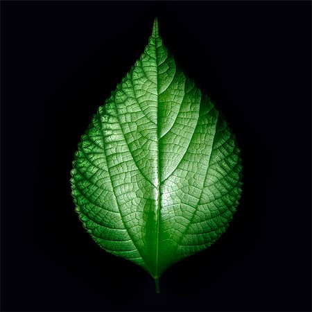 plant (botanical) - Green leaf on black background Stock Photo - Premium Royalty-Free, Code: 622-07118085