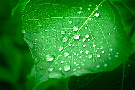 droplet - Raindrops on green leaf Stock Photo - Premium Royalty-Free, Code: 622-07118096