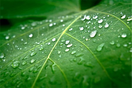 Raindrops on green leaf Stock Photo - Premium Royalty-Free, Code: 622-07118105