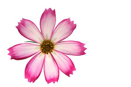petal - Cosmos Stock Photo - Premium Royalty-Free, Code: 622-07519600