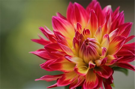 Dahlia Stock Photo - Premium Royalty-Free, Code: 622-07519630