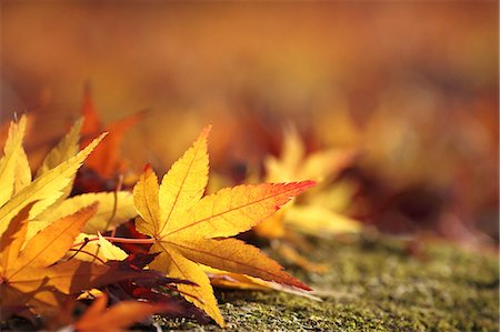 fall - Yellow maple leaves Stock Photo - Premium Royalty-Free, Code: 622-07519648