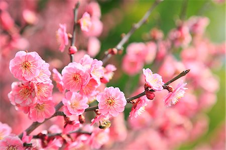 spring flowers - Plum blossoms Stock Photo - Premium Royalty-Free, Code: 622-07519725