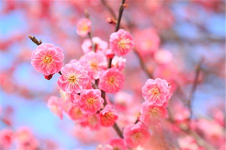 flowers - Plum blossoms Stock Photo - Premium Royalty-Free, Code: 622-07519726
