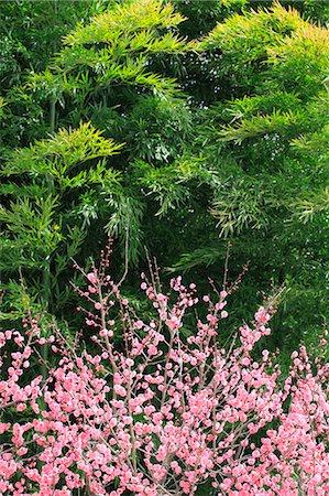spring flowers - Plum blossoms Stock Photo - Premium Royalty-Free, Code: 622-07519722