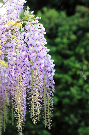 spring flowers - Wisteria Stock Photo - Premium Royalty-Free, Code: 622-07519744