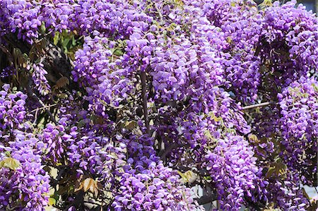 spring flowers - Wisteria Stock Photo - Premium Royalty-Free, Code: 622-07519745