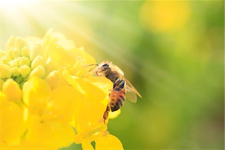 Bee on field mustard Stock Photo - Premium Royalty-Free, Code: 622-07519874