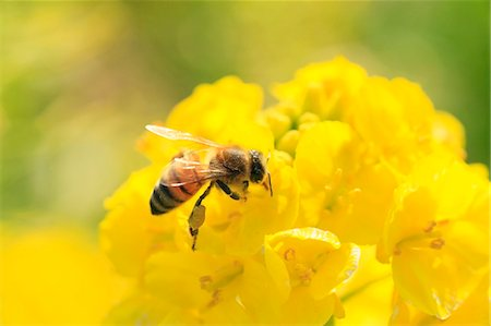 Bee on field mustard Stock Photo - Premium Royalty-Free, Code: 622-07519872