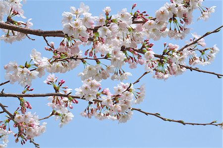 Cherry blossoms Stock Photo - Premium Royalty-Free, Code: 622-07760520