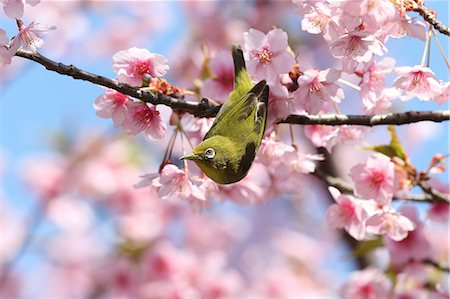Japanese White Eye Stock Photo - Premium Royalty-Free, Code: 622-07760618