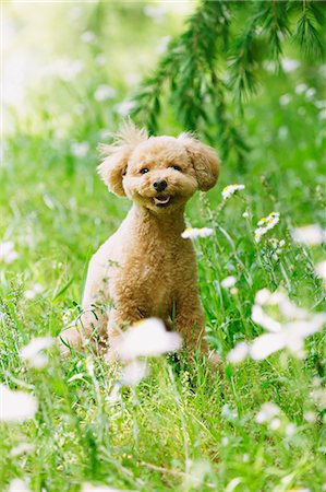 smiling - Toy poodle in a park Stock Photo - Premium Royalty-Free, Code: 622-07810821
