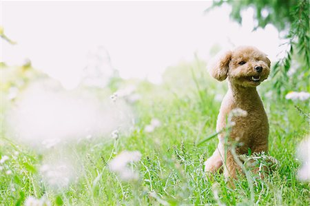 dogs in nature - Toy poodle in a park Stock Photo - Premium Royalty-Free, Code: 622-07810823