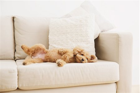 Toy poodle on sofa Stock Photo - Premium Royalty-Free, Code: 622-07810834
