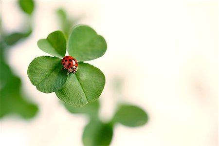 spring - Ladybug on clover Stock Photo - Premium Royalty-Free, Code: 622-07811136