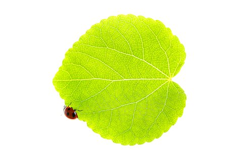 Ladybug on leaf Stock Photo - Premium Royalty-Free, Code: 622-07811139