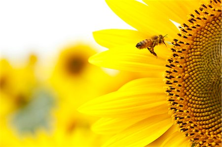 Sunflower Stock Photo - Premium Royalty-Free, Code: 622-07841017