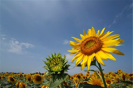 Sunflower field Stock Photo - Premium Royalty-Free, Code: 622-07841023