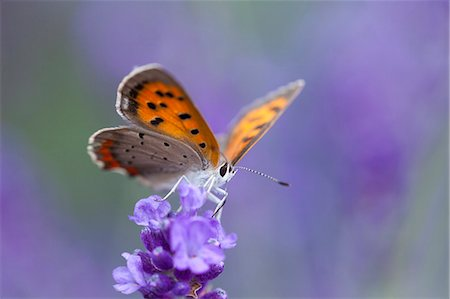 Small Copper Stock Photo - Premium Royalty-Free, Code: 622-07841138