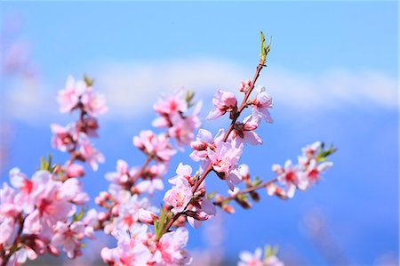 Blooming flowers Stock Photo - Premium Royalty-Free, Code: 622-07841287