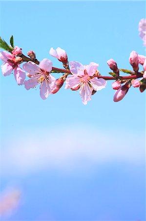 Blooming flowers Stock Photo - Premium Royalty-Free, Code: 622-07841288
