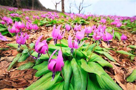 Japanese dog's tooth violet Stock Photo - Premium Royalty-Free, Code: 622-07841293