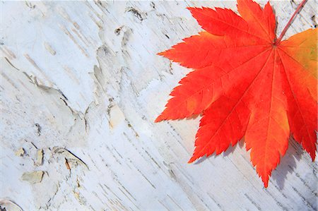 Autumn leaf Stock Photo - Premium Royalty-Free, Code: 622-07841326
