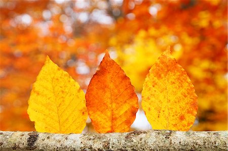 Autumn leaves Stock Photo - Premium Royalty-Free, Code: 622-07841335