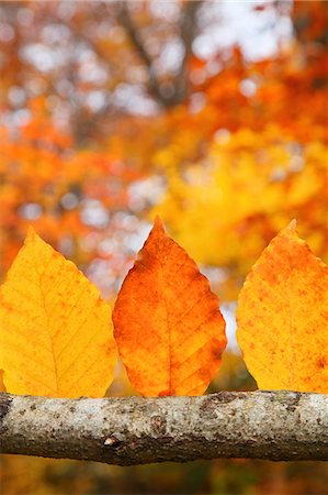 fall - Autumn leaves Stock Photo - Premium Royalty-Free, Code: 622-07841336
