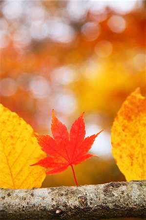fall - Autumn leaves Stock Photo - Premium Royalty-Free, Code: 622-07841337