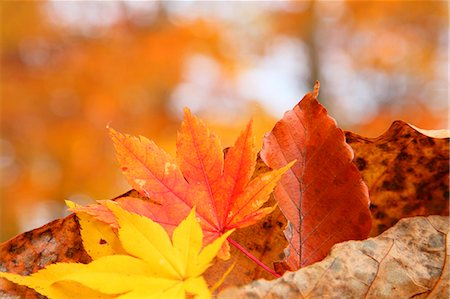 Autumn leaves Stock Photo - Premium Royalty-Free, Code: 622-07841339